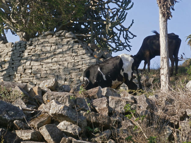 Animals roam freely at the stone walls, 2015