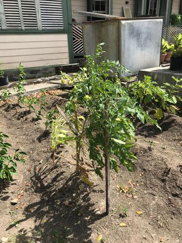 Tomatoes growing in the gardens of Government House.